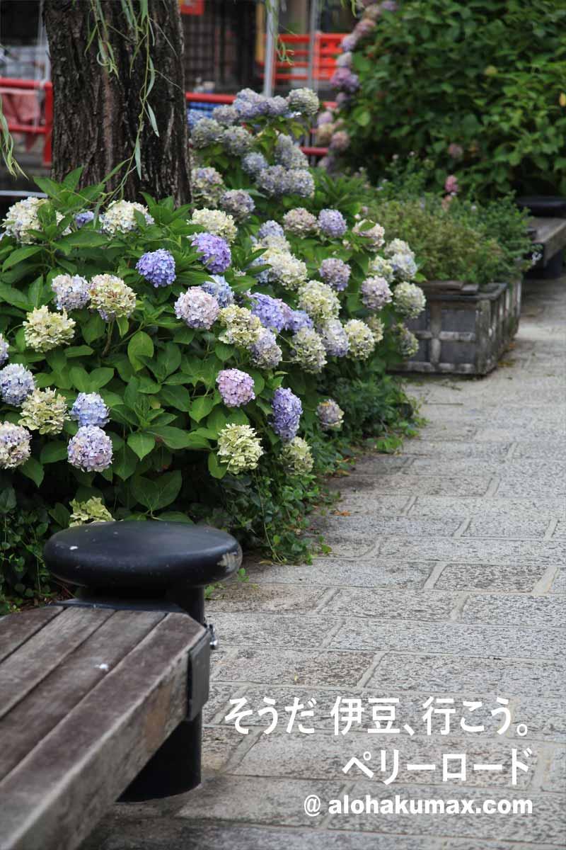 ペリーロードと紫陽花