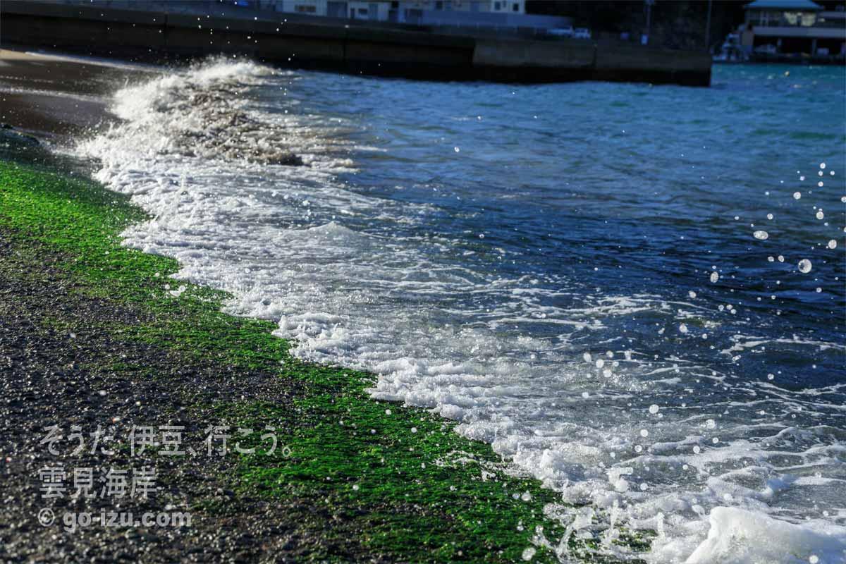 波打ち際に生えている海藻