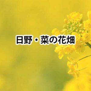 日野の菜の花畑!「ひの」じゃなくて「ひんの」だよ / 南伊豆町